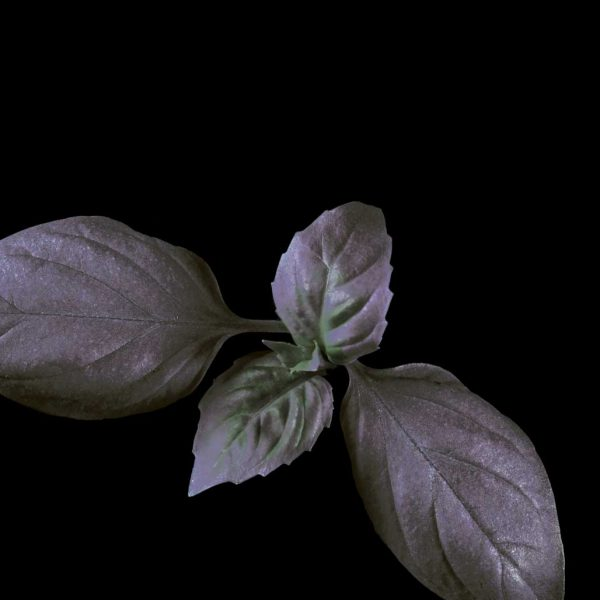 Basil-Dark-web