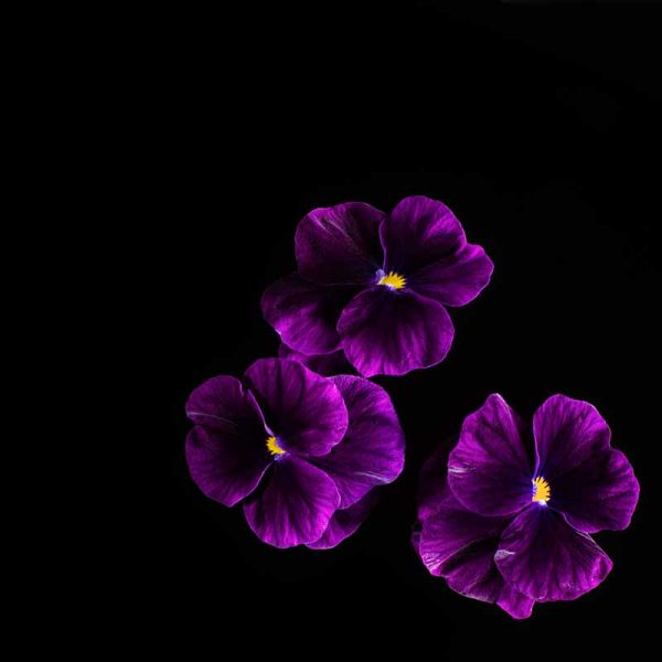 Viola-Purple-web