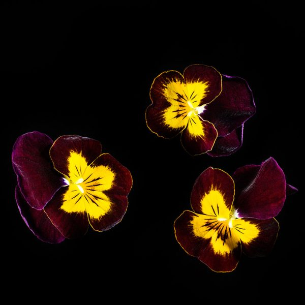 Viola-Ruby-gold-web