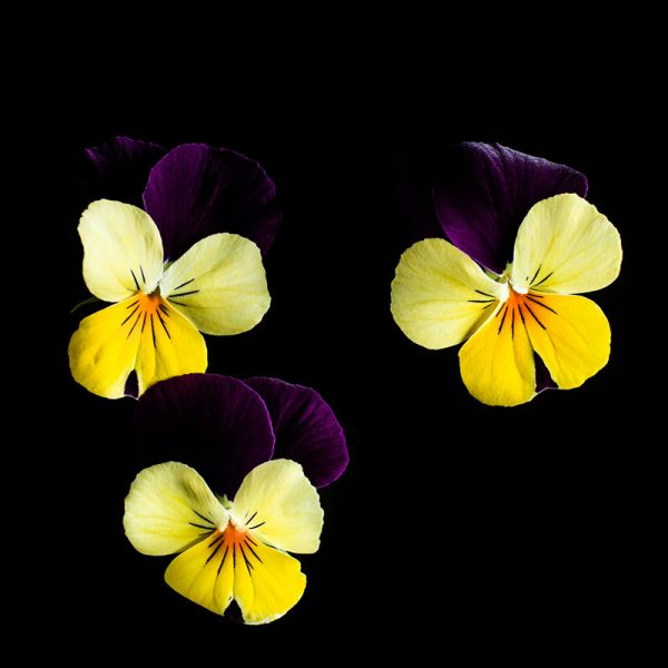 Viola-yellow-jump-web
