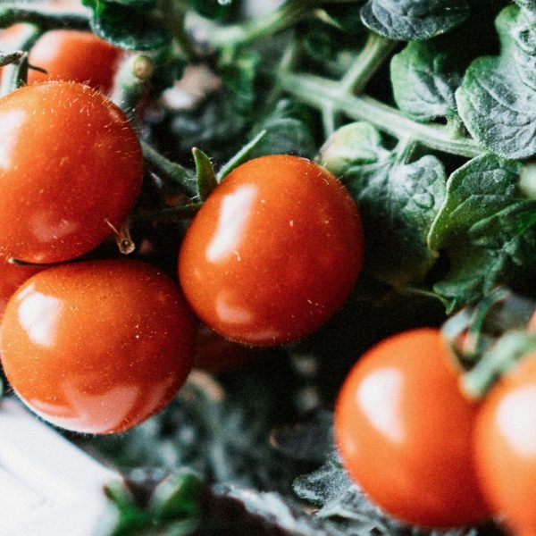 Plantui-Cherry-Tomatoes-Red-Smart-Garden-Close_1024x1024